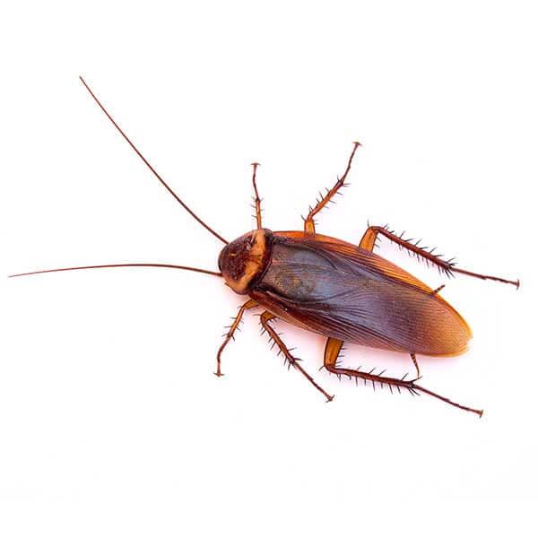 Las Vegas Cockroach Control Services
