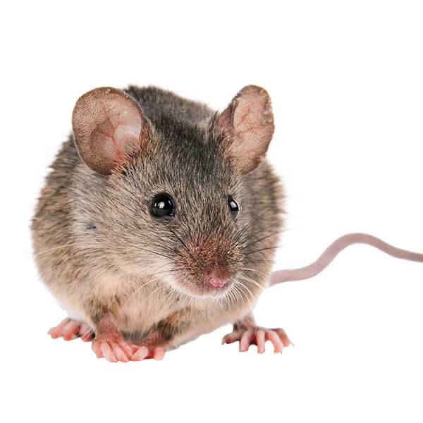 Las Vegas Rodent Control Pest Services