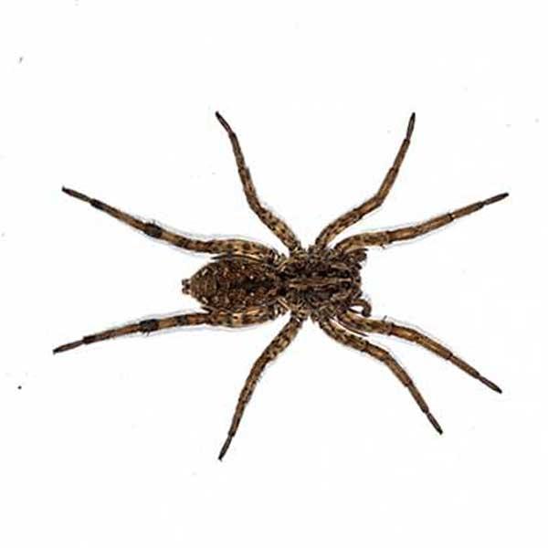 Las Vegas Spider Control Services