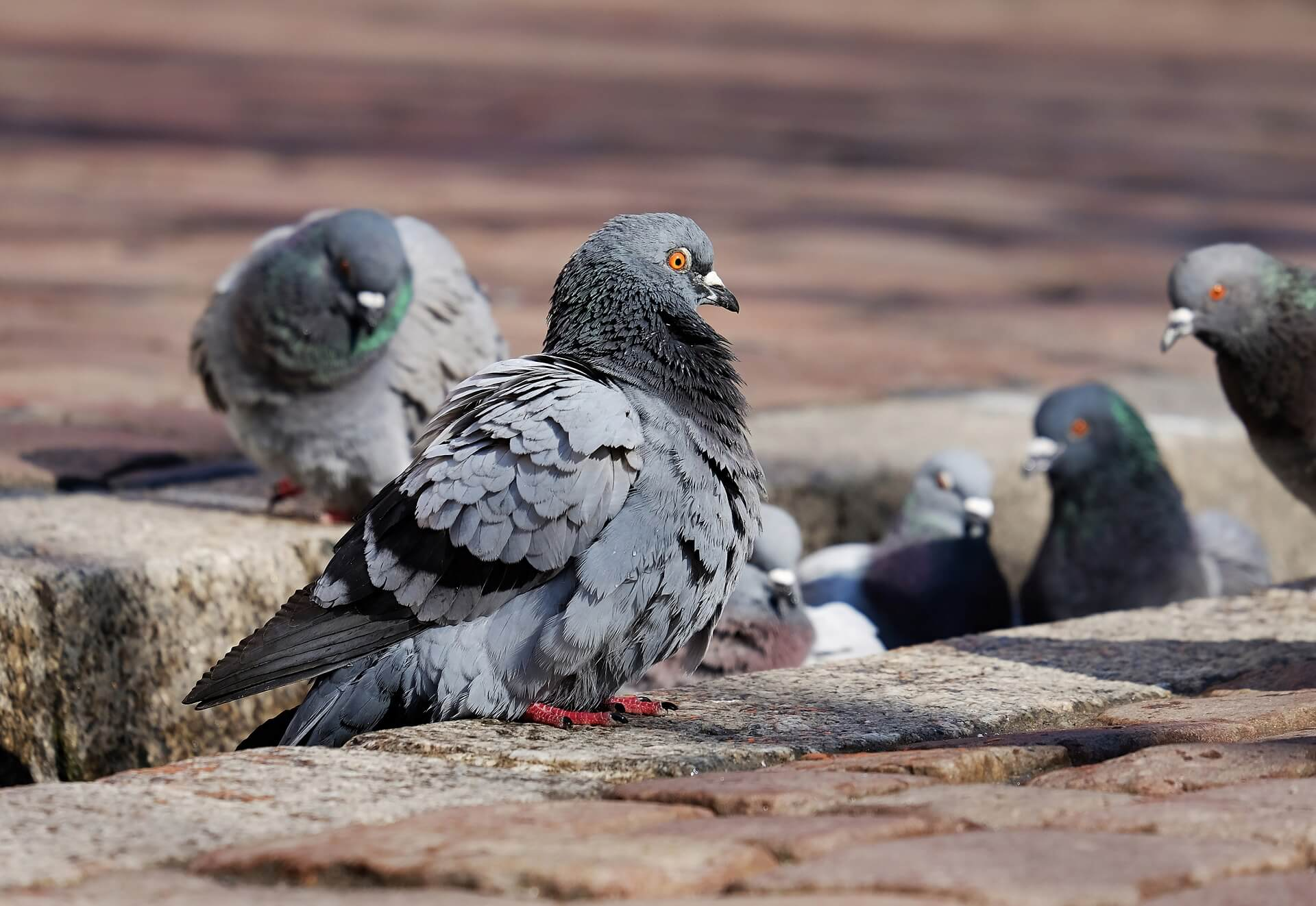 Pigeons: They're No Spring Chicken!