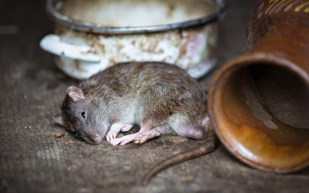 Rodent Infestations and Diseases Associated With Rodents
