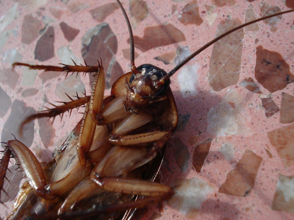 invincible cockroach