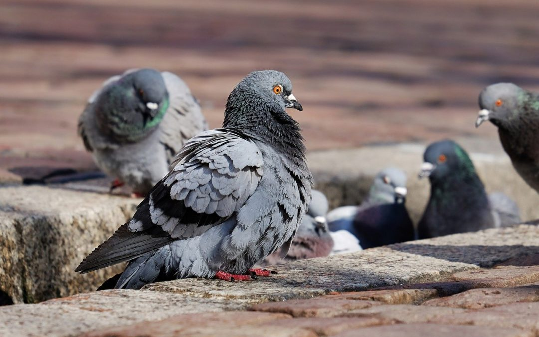 Pigeon Problems and Prevention