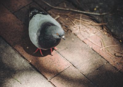 5 Reasons You Need Pigeon Control and Removal