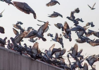 A Few Facts About Pesky Pigeons