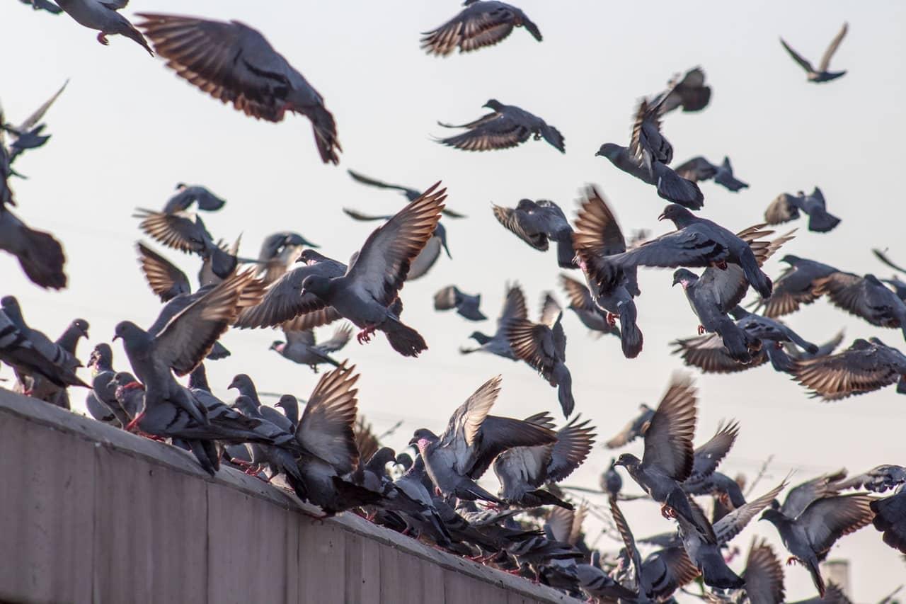 pesky pigeons facts