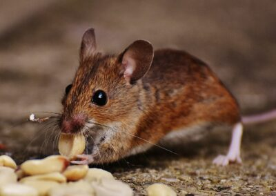 Rodent Risks and Potential Problems
