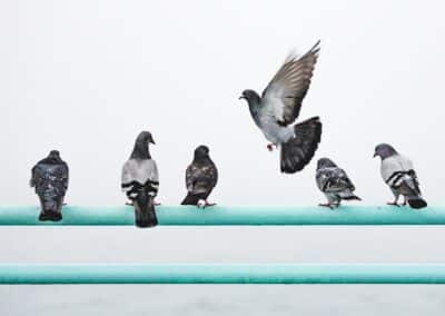 How To Get Rid of Pigeons For Good