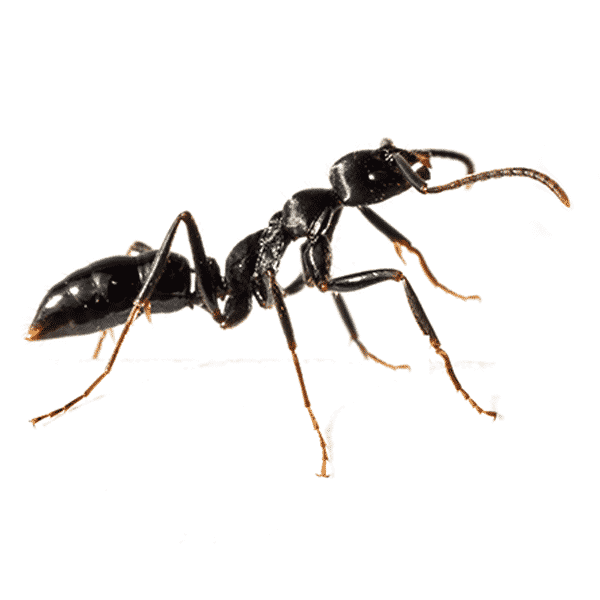 Las Vegas Ant Control Services