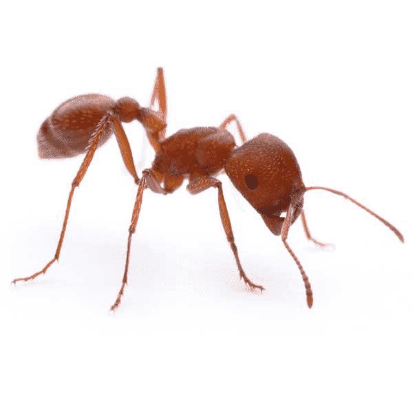 harvester-ant