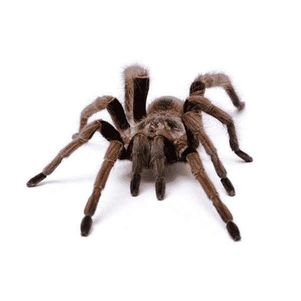 desert tarantula las vegas